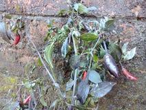 Piment célèbre d'Inde principalement célèbre dans Assam Image libre de droits