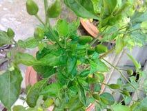 Piment vert célèbre très très épicé Photos stock