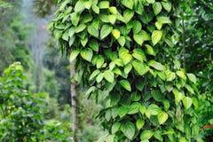 Pimenta da árvore fotos de stock royalty free