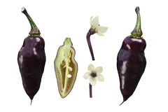 Pimenta De Neyde C. chinense pepper, paths. Pimenta De Neyde chile pepper Capsicum chinense, whole and split pods, blooms. Clipping paths for each Royalty Free Stock Photo