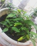 Pimenta de pimentão imagem de stock