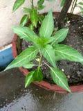 A pimenta de pimentão nepalesa é o fruto das plantas fotos de stock royalty free