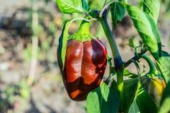 Pimenta de sino vermelha no close-up do jardim fotos de stock royalty free
