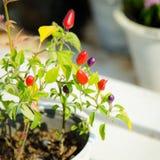 Pimenta decorativa no jardim Foto de Stock Royalty Free