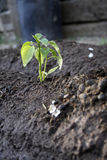 Pimenta do jardim imagens de stock royalty free