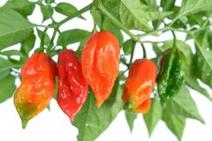 Pimenta do jolokia de Bhut Fotos de Stock Royalty Free