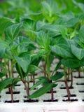 Pimenta do seedling da planta Imagens de Stock