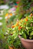 Pimenta no jardim Fotos de Stock Royalty Free