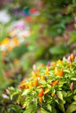 Pimenta no jardim Imagem de Stock