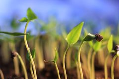 A pimenta pequena planta o crescimento crescente da primavera da germinação no fundo azul fotos de stock royalty free
