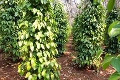 Pimenta preta verde Foto de Stock Royalty Free