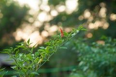 Pimenta tailandesa ânua do capsicum Imagens de Stock