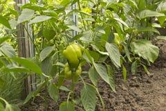 Pimenta vegetal imagem de stock royalty free