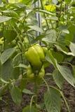 Pimenta vegetal Foto de Stock