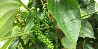 Pimenta verde de Kerala imagem de stock