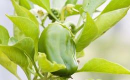 Pimenta verde que cresce no jardim Foto de Stock Royalty Free