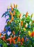pimentas Imagem de Stock Royalty Free