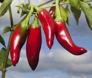 Pimentas brilhantes Fotografia de Stock Royalty Free