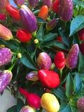 Pimentas coloridas naughty fotografia de stock royalty free