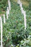 Pimentas coreanas Foto de Stock