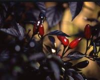 Pimentas da pérola Fotos de Stock Royalty Free