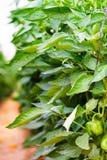 Pimentas de Bell verdes Fotos de Stock Royalty Free
