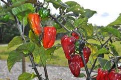 Pimentas de Bhut Neyde Jalokia Imagem de Stock