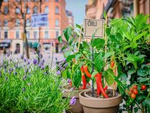 Pimentas de pimentão vermelho em um potenciômetro em um fundo da rua da cidade imagem de stock royalty free
