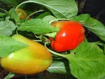Pimentas de pimentão vermelho muito fortes, planta do pimentão Foto de Stock