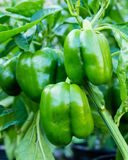 Pimentas de sino verdes que crescem no jardim Fotografia de Stock