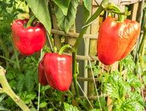 Pimentas de sino vermelhas Imagens de Stock Royalty Free