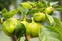 Pimentas que amadurecem na planta imagens de stock
