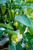 Pimentas verdes e folhas foto de stock
