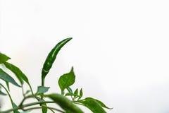 Pimentas verdes em um fundo branco Imagem de Stock