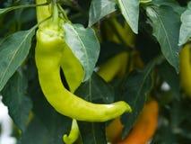 Pimentas verdes na planta Imagem de Stock Royalty Free