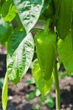 Pimentas verdes que crescem no jardim Fotos de Stock