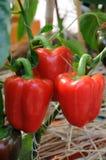 Pimentas vermelhas crescentes Imagens de Stock
