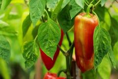 Pimentas vermelhas no jardim Imagens de Stock