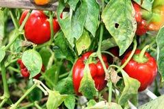 Pimentas, vermelho, amarelo, laranja, verde Imagem de Stock Royalty Free