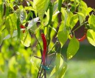 Pimento verde vermelho do close up no arbusto Imagem de Stock