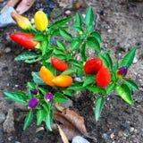 Pimentos de variedades diferentes de maturidade fotos de stock royalty free