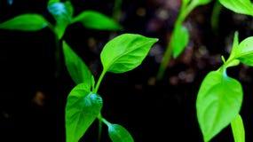 Piments de jeune plante Photographie stock libre de droits