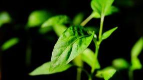Piments de jeune plante Photo stock
