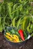 Piments et paprika pris pour la préparation images stock