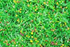 Piments ornementaux colorés de couleur de vue supérieure cinq fleurissant dans la ferme végétale organique photographie stock libre de droits