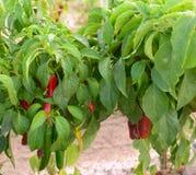 Piments rouges étant élevés dans la trappe, Nouveau Mexique Photos libres de droits