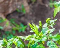 Piments verts Photo libre de droits