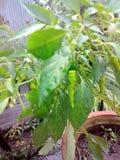 Piments verts dans le jardin dans l'Inde Photos stock