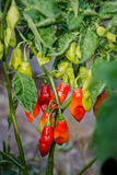 Pimentu pieprzu roślina uprawia ogródek organicznie pikantność zdrowego produkt spożywczy Karaibskiego karmowego składnika Obrazy Royalty Free