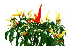 Pimienta candente Fotos de archivo libres de regalías